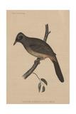 Garrulax Perspicillatus (Gmelin)  1855