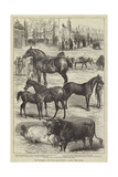 The Lincolnshire Agricultural Society's Show at Boston  Prize Animals