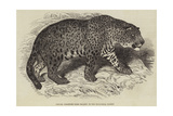 Jaguar  Presented by Her Majesty to the Zoological Society