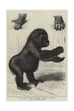 The First Gorilla Brought Alive to Europe