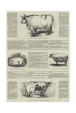Smithfield Club Prize Cattle Show