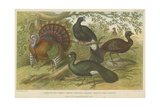 Turkey and Curassows