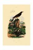 Common Pipistrelle  1833-39