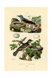 Roufus-Tailed Rock-Thrush  1833-39