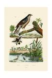 Eurasian Sparrowhawk  1833-39