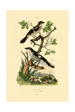 Southern Grey Shrike  1833-39