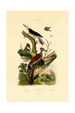 Greater Flameback  1833-39