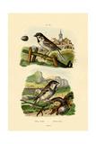 Italian Sparrow  1833-39