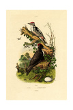 Greater Spotted Woodpecker  1833-39