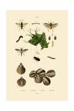 Mealworm Beetle  1833-39