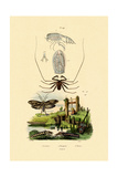 Pram Bug Amphipod  1833-39
