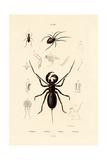 Whip Scorpion  1833-39