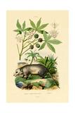 Common Opossum  1833-39