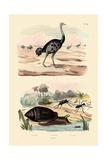 Herald Snail  1833-39