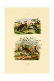 Grey Partridge  1833-39
