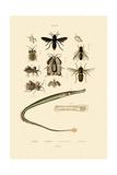 Great Pipefish  1833-39