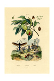 Nutmeg  1833-39