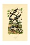 Shrikes  1833-39