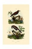 Antbirds  1833-39