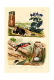 Pine Weevil  1833-39