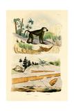 Baboon  1833-39
