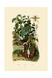 Wild Sage  1833-39