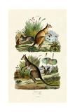 Kangaroos  1833-39