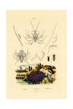 Sea Slug  1833-39