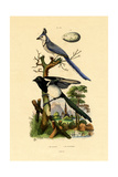 Magpie Jay  1833-39