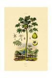 Papaya  1833-39