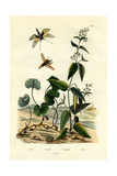 Wild Ginger  1833-39