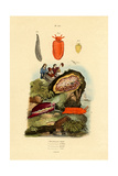 Sea Slugs  1833-39
