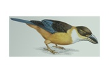 Birds: Coraciiformes  Malachite Kingfisher (Alcedo Cristata)