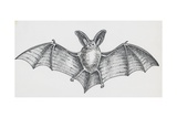 Common Brown Long-Eared Bat (Plecotus Auritus)  Chiroptera