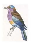 Birds: Coraciiformes  European Roller (Coracias Garrulus)