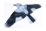 Birds: Passeriformes  Clark's Nutcracker (Nucifraga Columbiana)