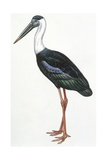 Birds: Ciconiiformes  Woolly-Necked Stork  (Ciconia Episcopus)