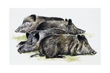 Sleeping Wild Boars or Wild Pigs (Sus Scrofa)  Suidae  Drawing