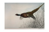 Pheasant  France  20th Century