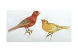 Birds: Passeriformes  Canaries (Serinus Canaria)