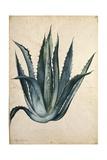 Century Plant (Agave Americana) by Jacopo Ligozzi