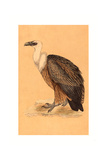 British 19th Century  Griffon Vulture  Hand-Colored Lithograph