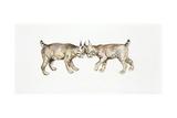Two Eurasian Lynxes (Lynx Lynx) Head to Head