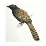 Birds  Cuculiformes  Pheasant Coucal (Centropus Phasianinus)