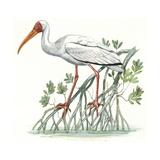 Birds: Ciconiiformes  Milky Stork  (Mycteria Cinerea)