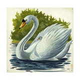 Mute Swan and Chick Cygnus Olor