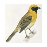 Birds: Passeriformes  Baya Weaver (Ploceus Philippinus)