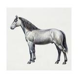 Connemara (Equus Caballus)  Equidae  Drawing