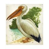 Great White Pelican Pelecanus Onocrotalus