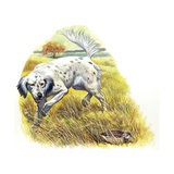 English Setter (Canis Lupus Familiaris) Pointing to Quail